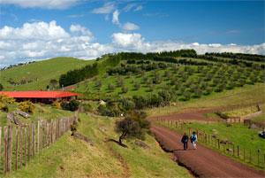 Waiheke olive grove